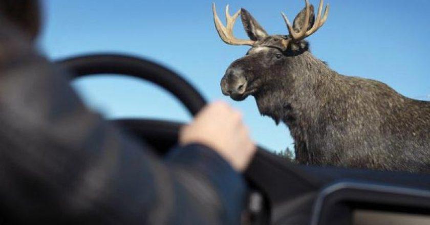 сбил лося в Кировской области