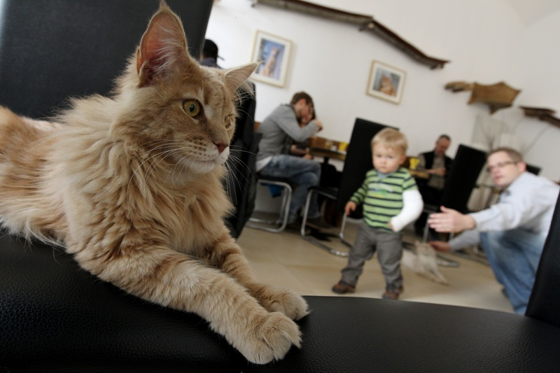 В Кирове готовятся к открытию кафе с котами