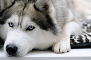 В Кировской области собаку хаски расстреляли на глазах ребенка
