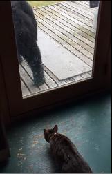 Отважная кошка Аляске прогнала черного медведя с крыльца дома