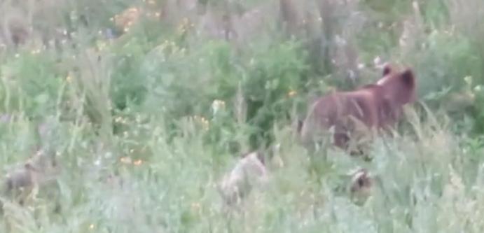 В Кировской области к людям вышла медведица с тремя медвежатами