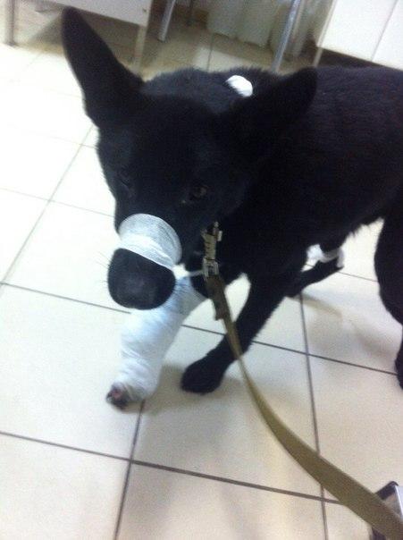 В Кирове живодеры пытались отрезать лапу собаке
