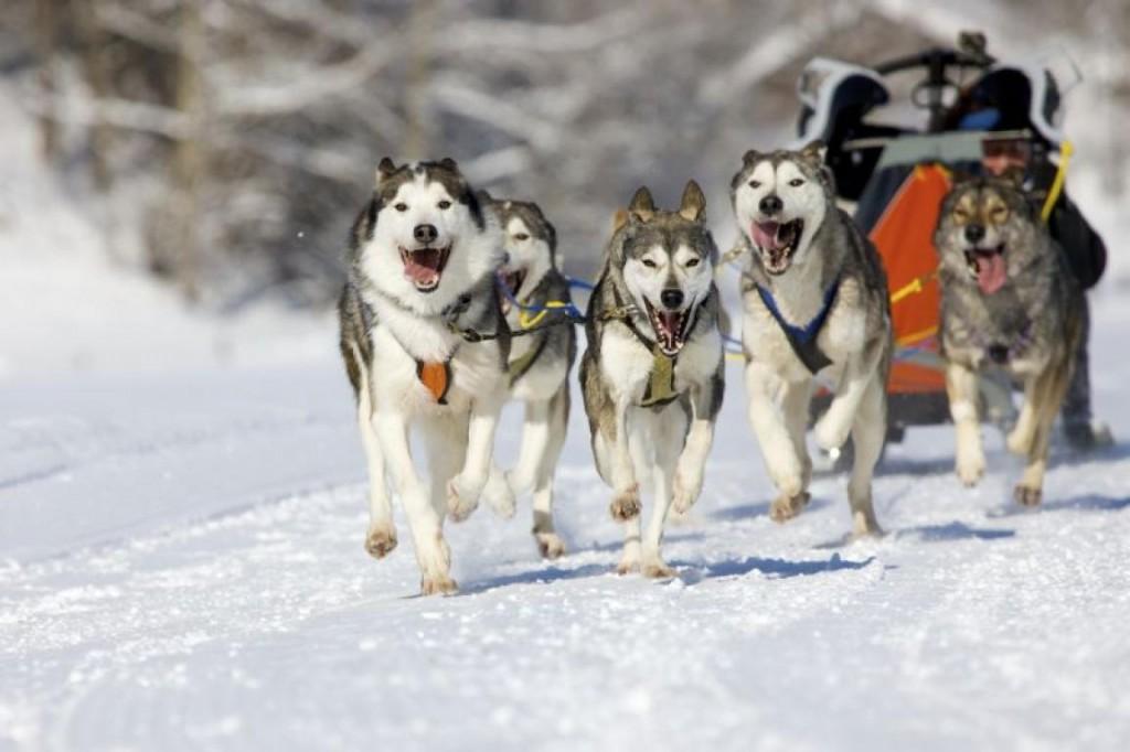 В выходные в Кировской области пройдут двухдневные гонки на собаках