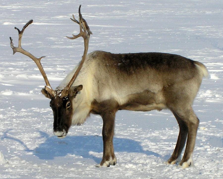 В Киров незаконно привезли северных оленей