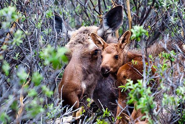 В лесах Кировской области увеличилась популяция хищников