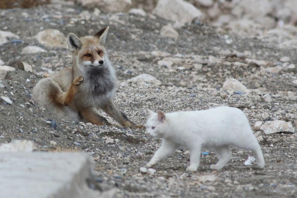 комов лисы с котятами картинки монеты