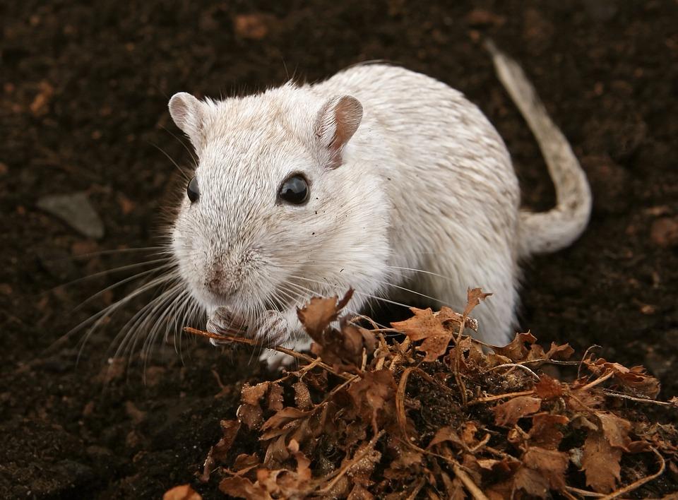 Специалисты рассказали, откуда взялись опасные крысы в центре Кирова