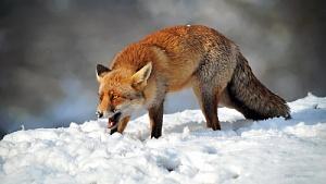 По факту обнаружения бешеного животного в Кирове проводятся соответствующие мероприятия
