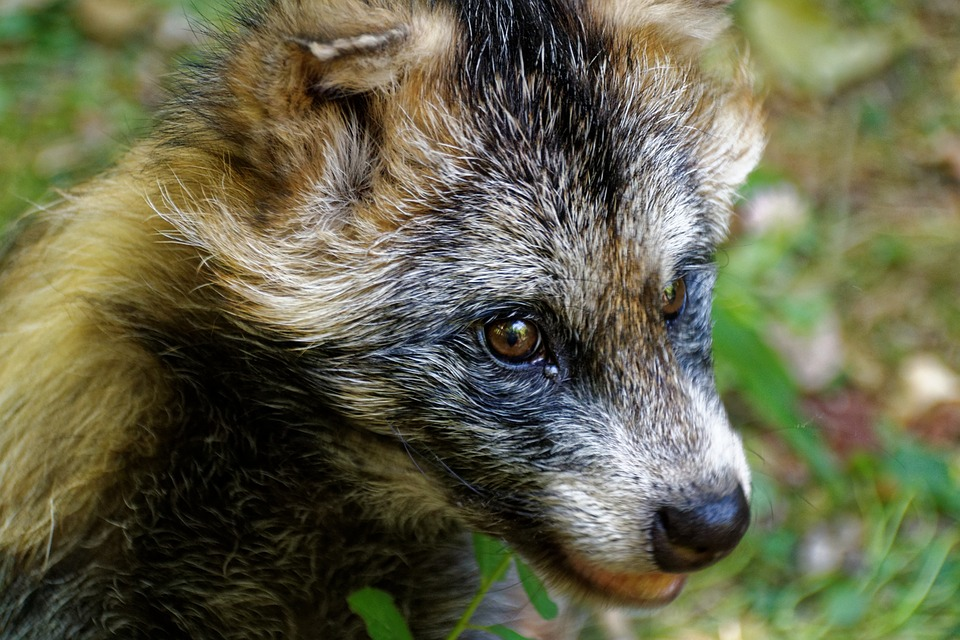 В Котельничском районе енотовидная собака напала на женщину