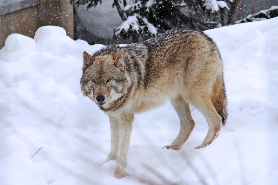 В Подосиновском районе волки съели несколько домашних собак