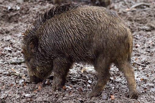 С 1 июня в Кировской области открывается охота на кабана