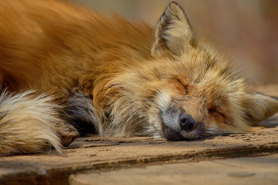 В Порошино нашли бешеную лисицу и объявили о внеплановой вакцинации