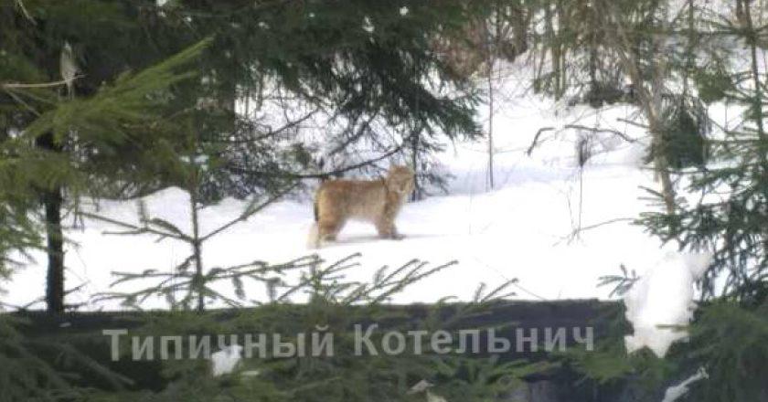 Жители Котельнича сняли на видео рысь, забежавшую в город
