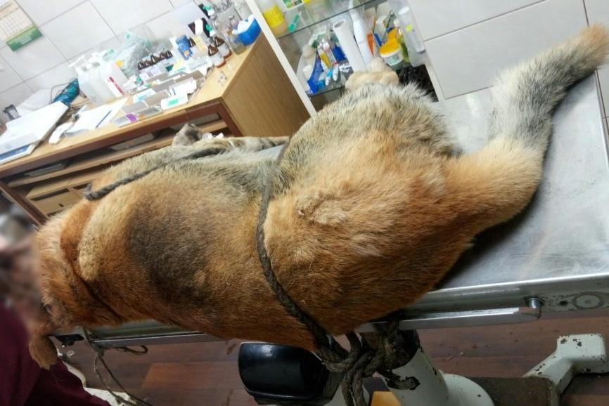 В Котельниче спасли от смерти изрубленную топором собаку
