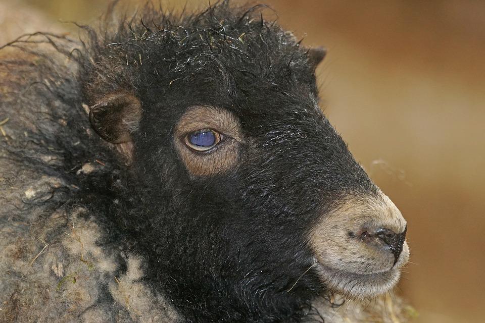 50 овец и баранов перекрыли дорогу в Кировской области