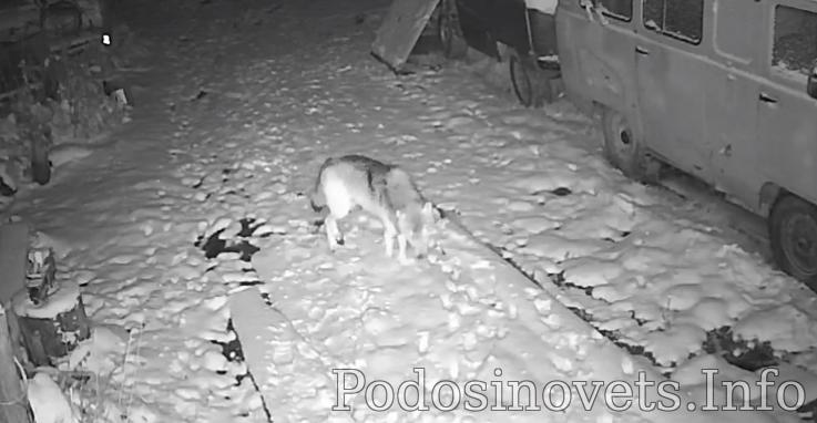 Волк в вечернее время зашел в поселок Кировской области