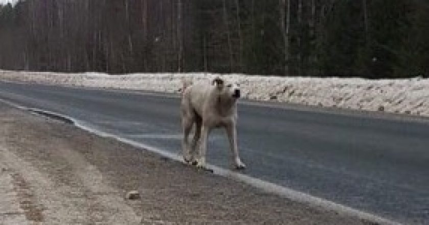 На трассе в Кировской области появился свой Хатико