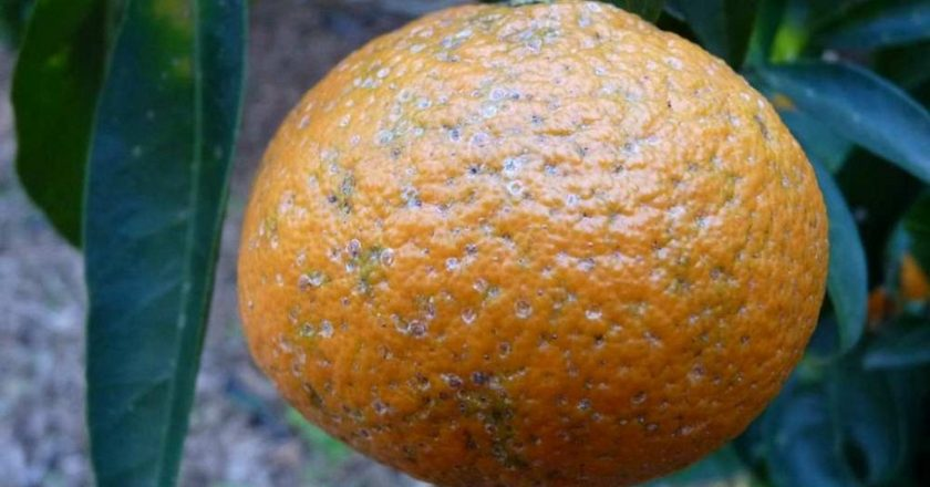 В Киров привезли более 1, 7 тонн зараженных лимонов и апельсинов