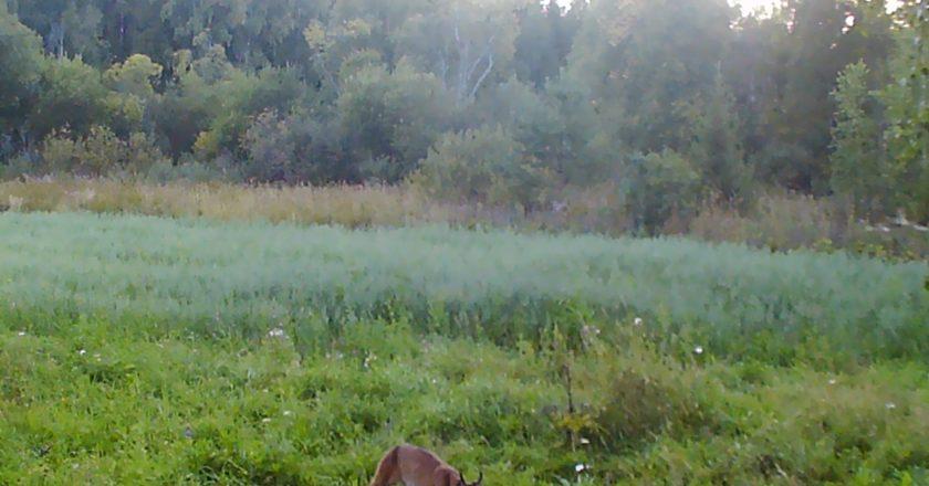 В Кировской области фотоловушка поймала рысь и лосей