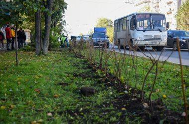 Вдоль кировских улиц начали высаживать живую изгородь