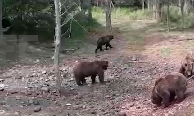 В Кировской области к дорожникам вышли 13 медведей