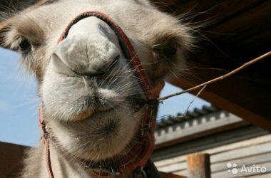 В Кирове выставили на продажу Верблюдицу
